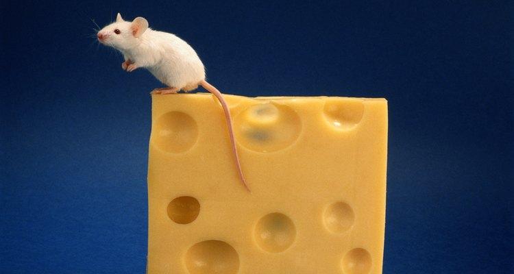 El ratón se ubica generalmente bastante alto en la escala de la inteligencia animal debido a sus habilidades de resolución de problemas.
