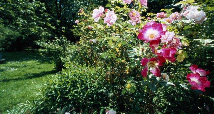 El punto negro puede defoliar arbustos enteros de rosas y rosales.
