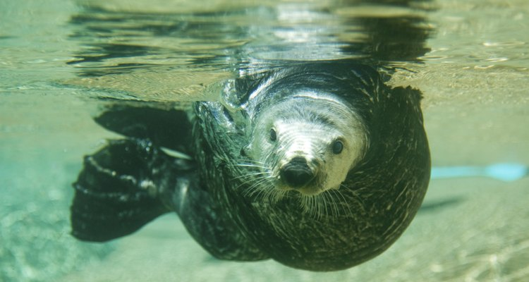 Lontras marinhas estão entre os mamíferos que comem caranguejos