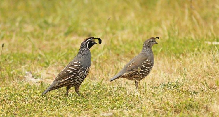 Un macho (izquierda) y una hembra (derecha) caminando sobre el césped.