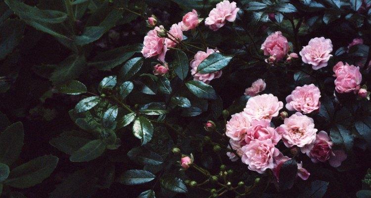 Roseiras pequenas ou em miniatura são adequados para lugares pequenos
