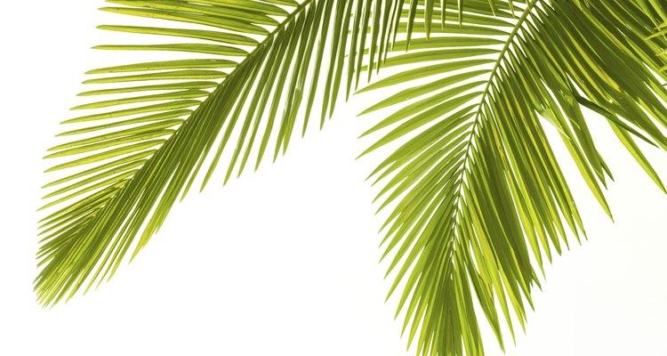 A palmeira-areca é nativa do leste de Madagascar