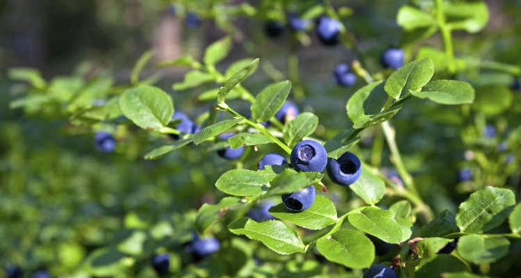 blueberry shrubs with berry