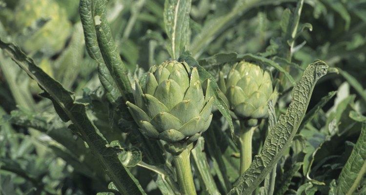 Muchos cultivos de alcachofas crecen de semillas.