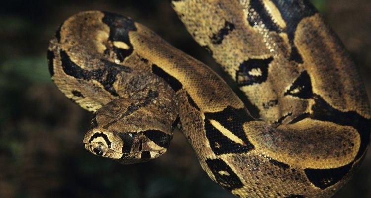 A jibóia é uma das maiores cobras do mundo e uma das poucas a não serem de ovos