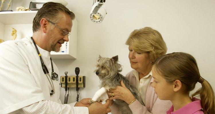 Um exame físico é o primeiro passo para diagnosticar abcessos de pata canina