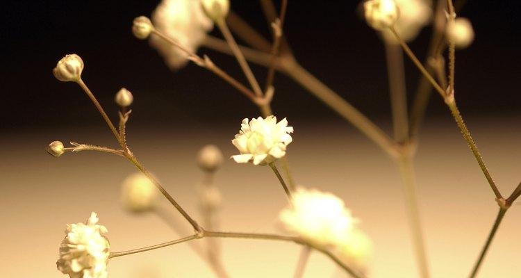 Os mosquitinhos são flores pequenas e agrupadas