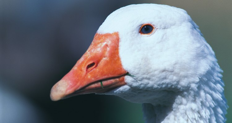 Anyone can learn how to debone a goose.