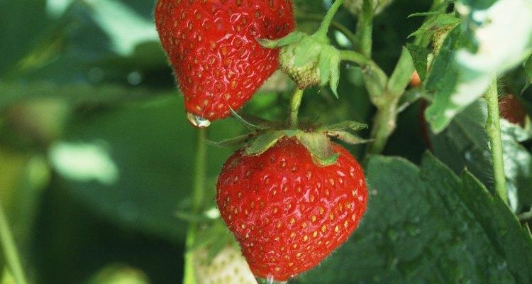Las raíces de una planta de fresa son muy superficiales.