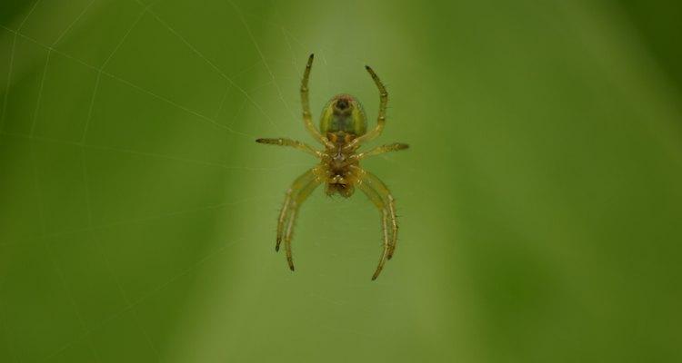 Las arañas construyen emboscadas y atrapan una gran cantidad de insectos en medio de las ramas de un sauce.