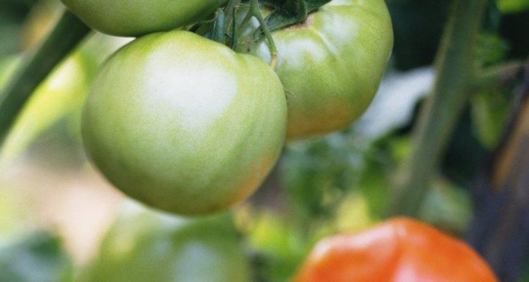 Tomates que continuam verdes na videira são a ruína de qualquer jardineiro que se preze