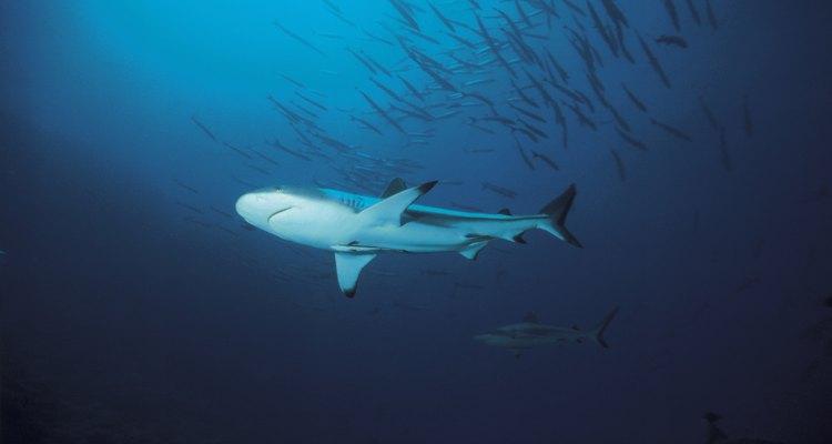 Los tiburones tienen varios procesos diferentes para adaptarse.