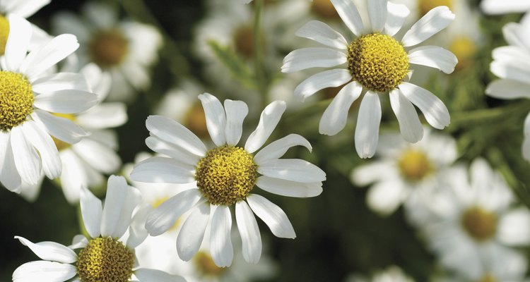Las flores de las manzanillas son pequeñas pero muy olorosas.