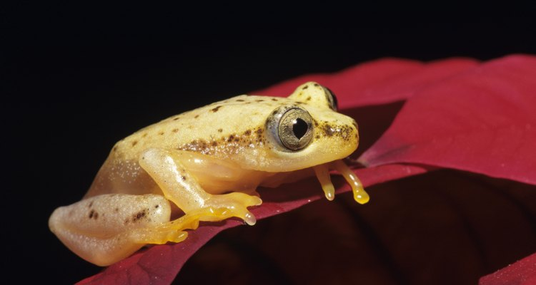 Las ranas dardo doradas pueden alcanzar hasta 5 cm de longitud.