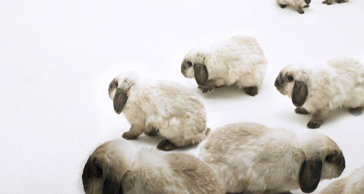 Cuidar a un conejo mini lop