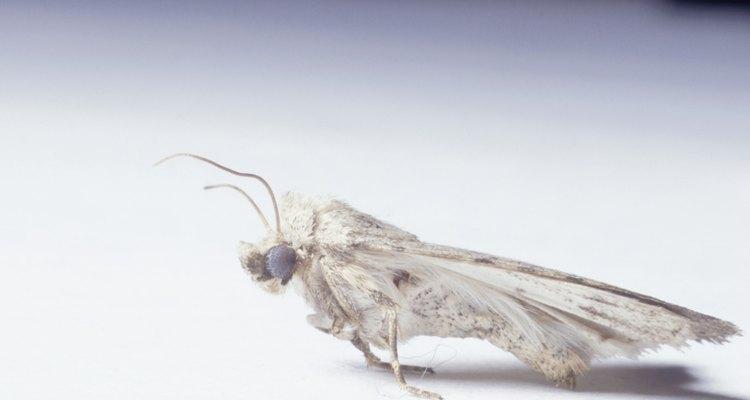 Las palomillas son uno de los insectos más comunes que vuelan alrededor de las luces de la cocina.