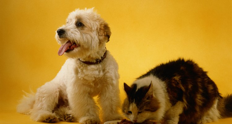 Outros animais de estimação podem importunar o seu gato, fazendo com que ele não coma
