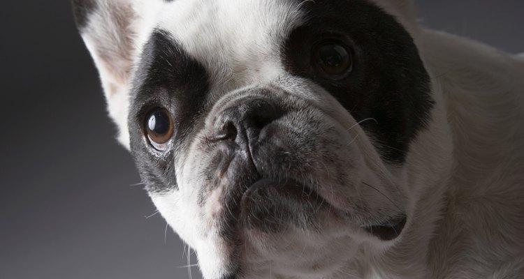 Aprenda um pouco mais sobre a toxemia canina