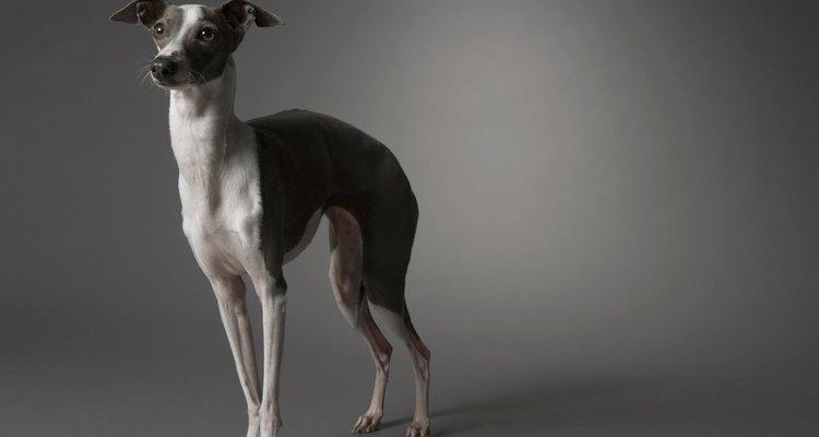 Os cães apresentam necessidades nutricionais diferentes das dos humanos
