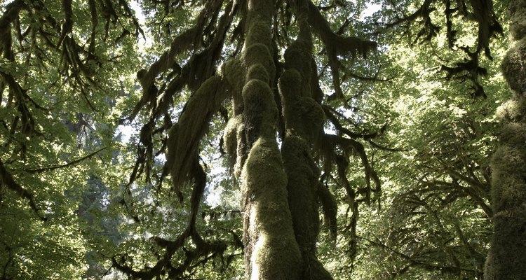 El Hoh Rain Forest es un bosque templado lluvioso con una densidad de árboles centenarios.