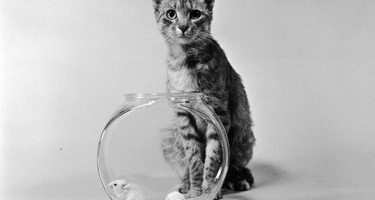 Há diferentes teorias sobre por que gatos trazem ratos vivos para casa