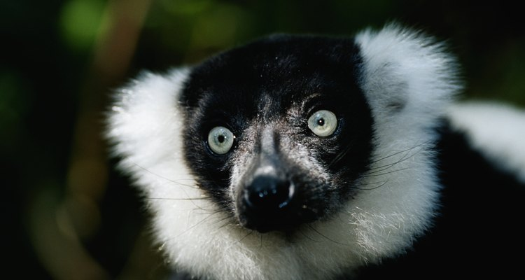 Lemurs can be found on the island nation Madagascar.