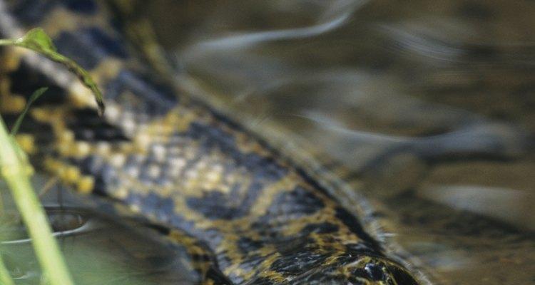 Las anacondas se sienten más a gusto en el agua.