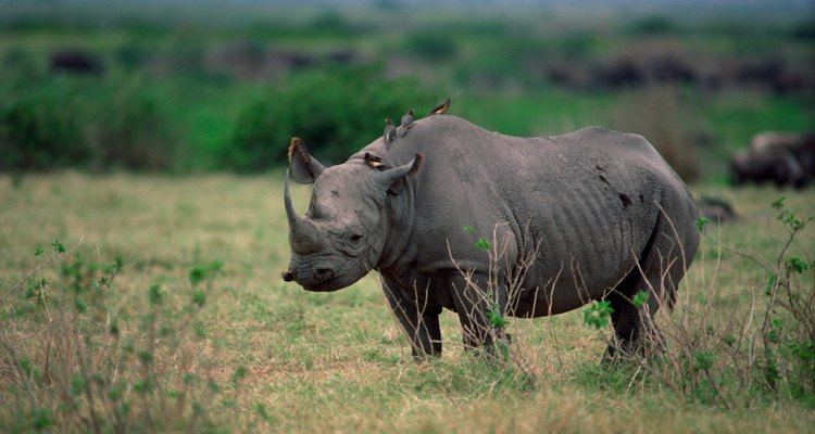 Um rinoceronte hospedando um pica-boi