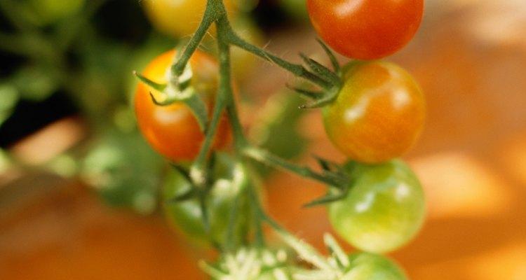 Los gusanos del fruto del tomate es una de las plagas del tomate más graves.