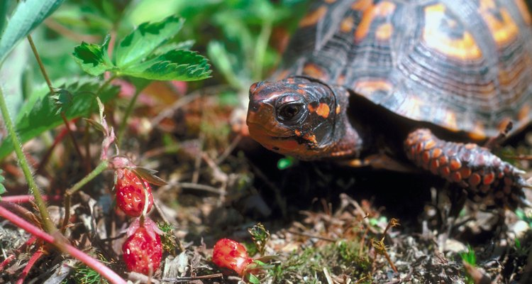 Wild strawberry produces edible fruit, and not just for humans.