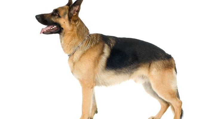 Como los perros grandes, los pastores alemanes son propensos a desarrollar dolorosos problemas de cadera.