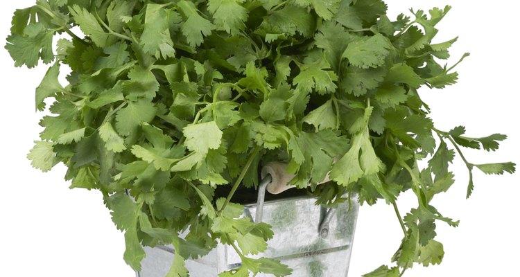 Ya sea que lo compres o que cultives tu propio cilantro, debes limpiarlo bien antes de consumirlo.