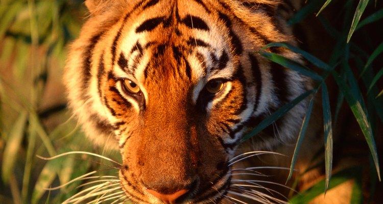 Los tigres están muy amenazados por la destrucción humana de su hábitat.
