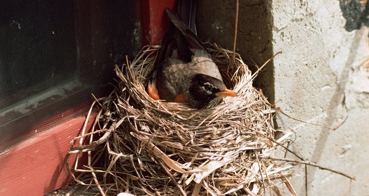 Fledgling robins are often clumsy and fall from the nest.