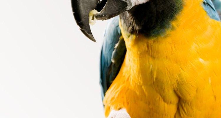Papagaios e araras seguram a comida em uma pata enquanto estão comendo