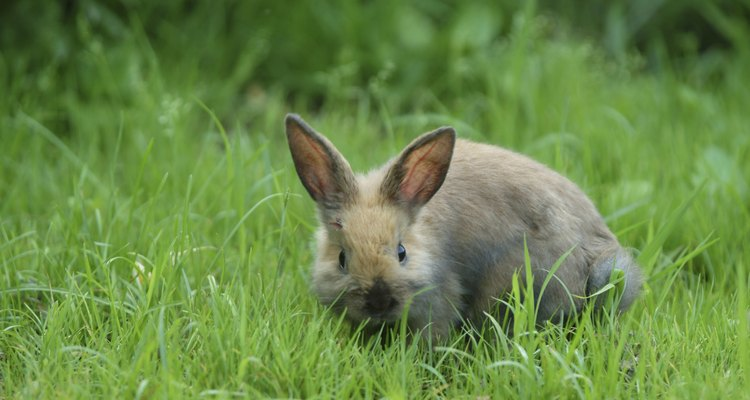 Los conejos se reproducen rápidamente, teniendo varias camadas por año.