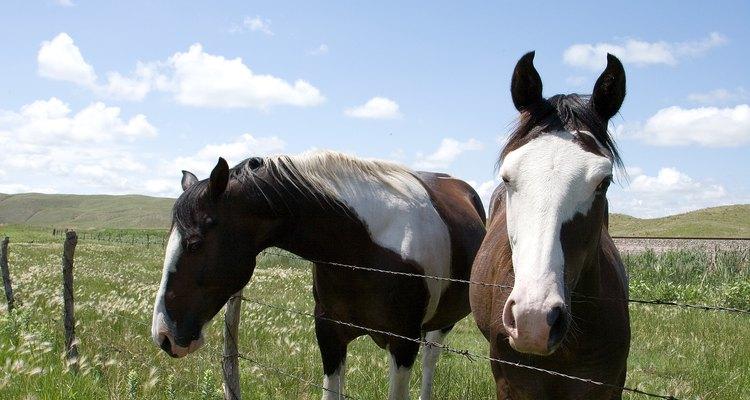 A berne fêmea procura cavalos como hospedeiros para seus ovos e larvas
