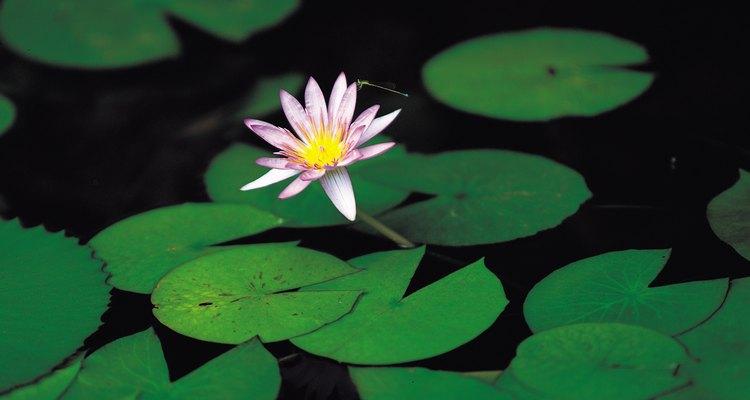 Las flores del loto se elevan sobre el agua.