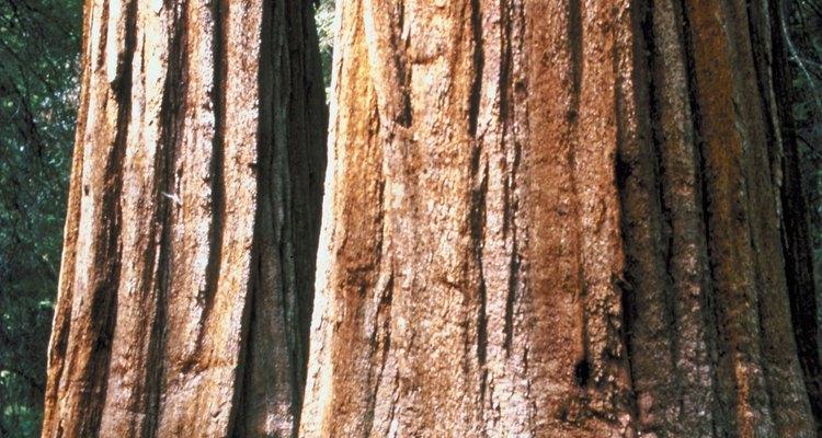 Las secuoyas se pueden ver en California.