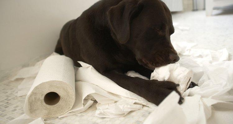 Los cachorros de labrador retriever son típicamente perros juguetones y amistosos que están llenos de energía.