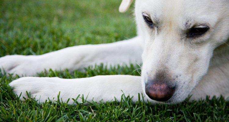 Um cachorro pode perder seu olfato