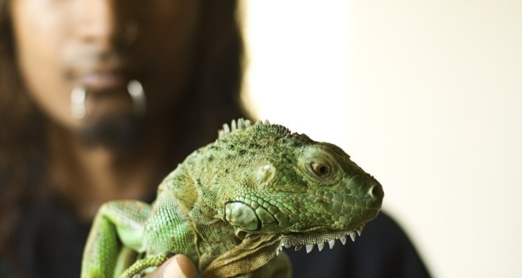 La iguana es una mascota popular.