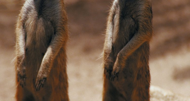 Meerkats typically live in hot, barren climates.
