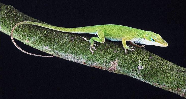 Los lagartos o las salamandras se alimentan de insectos.