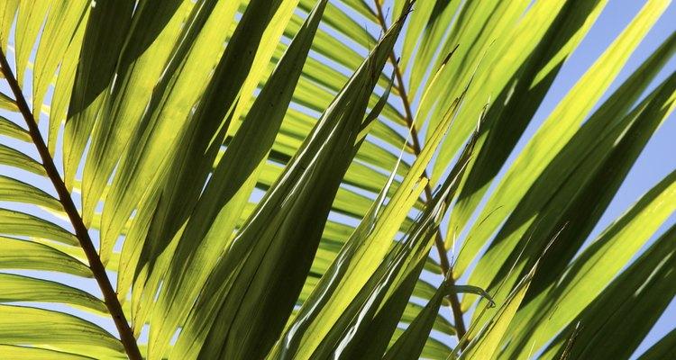 Cultive mais palmeiras-sagu a partir de mudas formadas em torno das plantas maduras