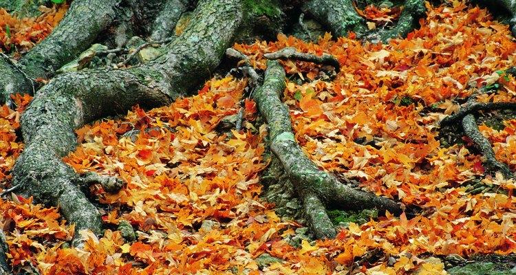 As raízes superficiais das árvore precisam de menos esforço do que as enterradas