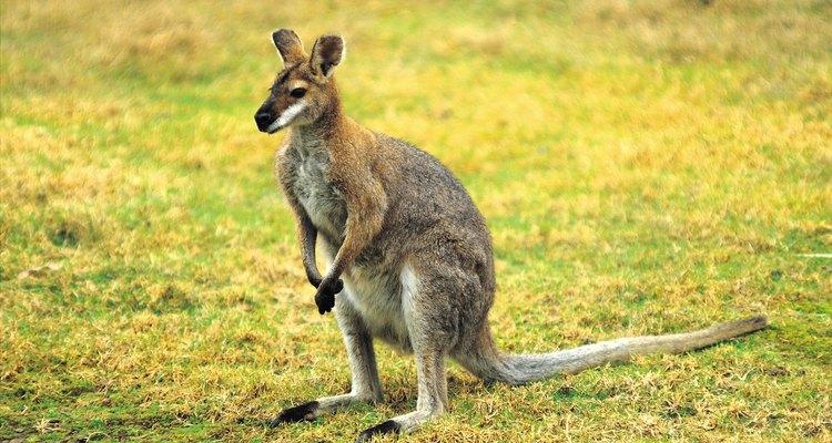 Los canguros están adaptados a los habitats y fuentes de comida de Australia.