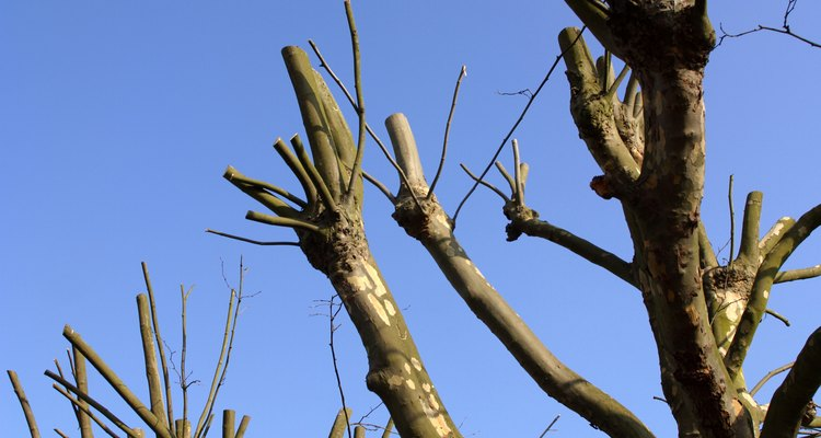 Pollarding is an extreme form of pruning.