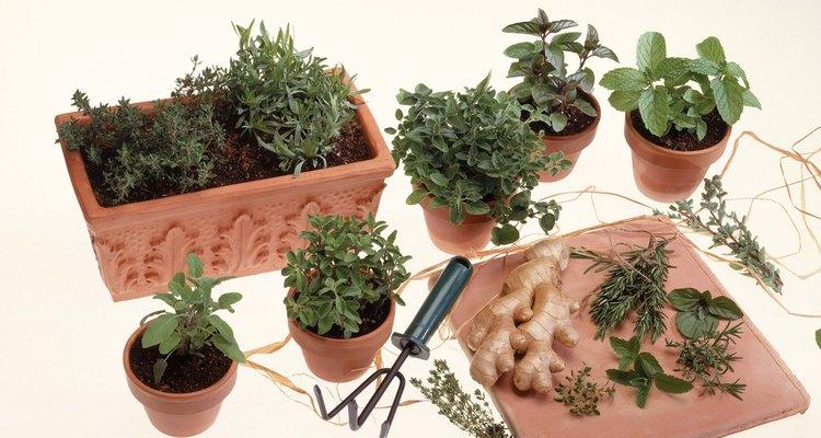 La menta es necesaria para la parcela de hierba del jardinero principiante.
