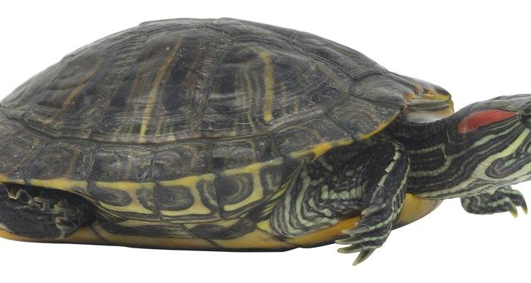 Tartarugas são criaturas de movimentos lentos que apresentam pequenas patas palmadas